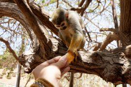 Lemur & Mandarin