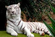 Tigre blanco guapo