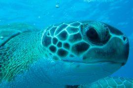 Grande tortuga mirandote