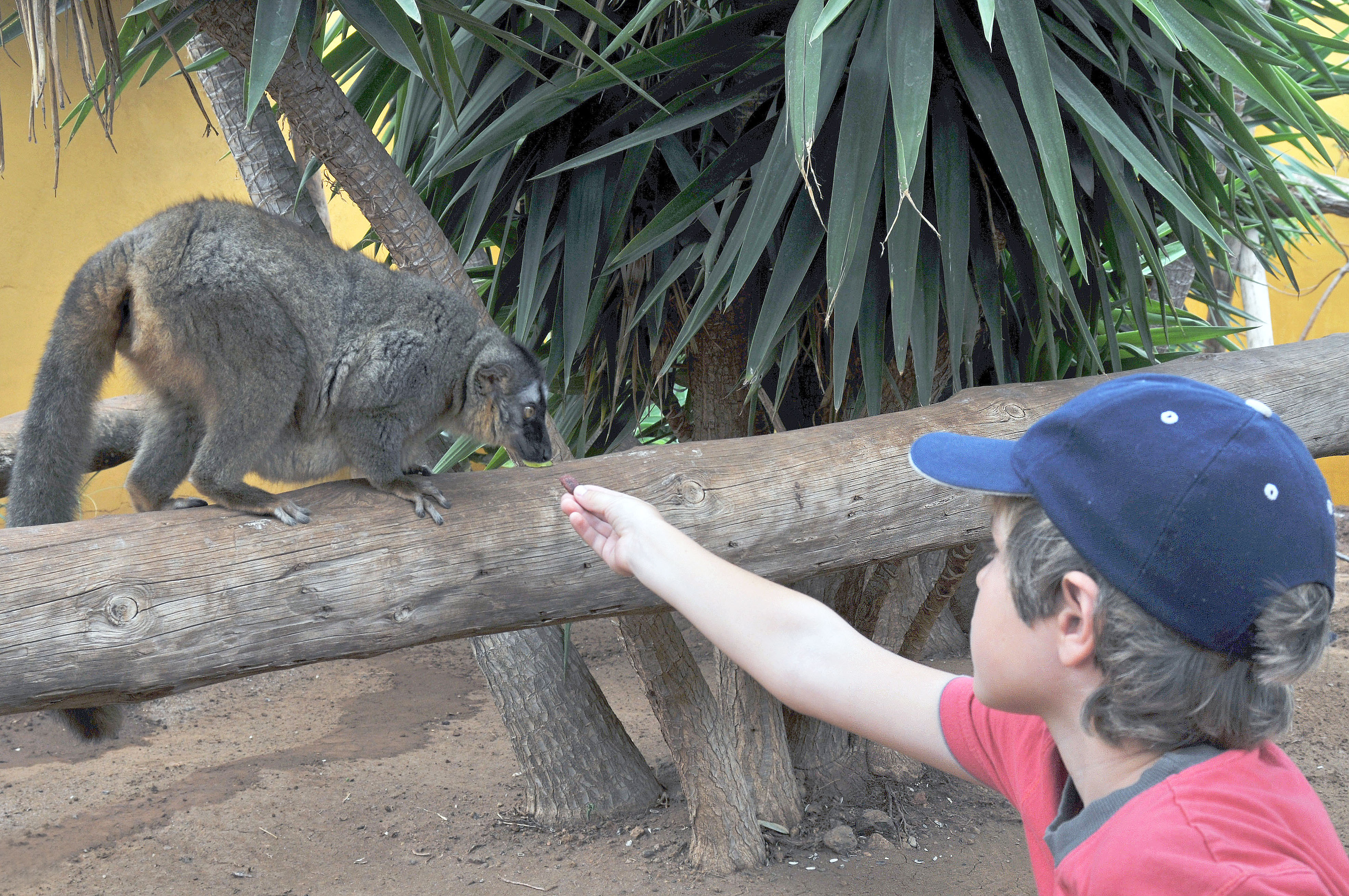Lemur & Niño